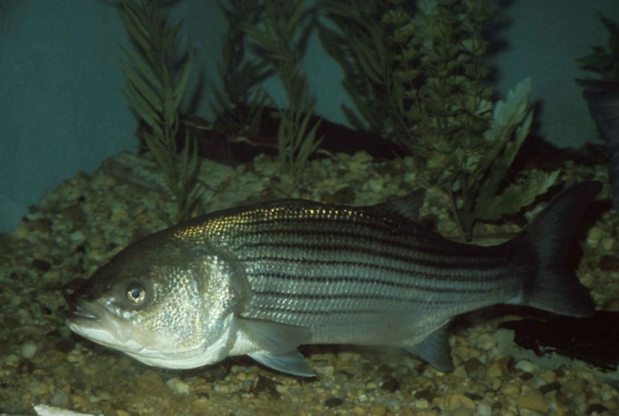 Morone Saxatilis Striped Bass Fish Close Up Underwater High Definiton Image